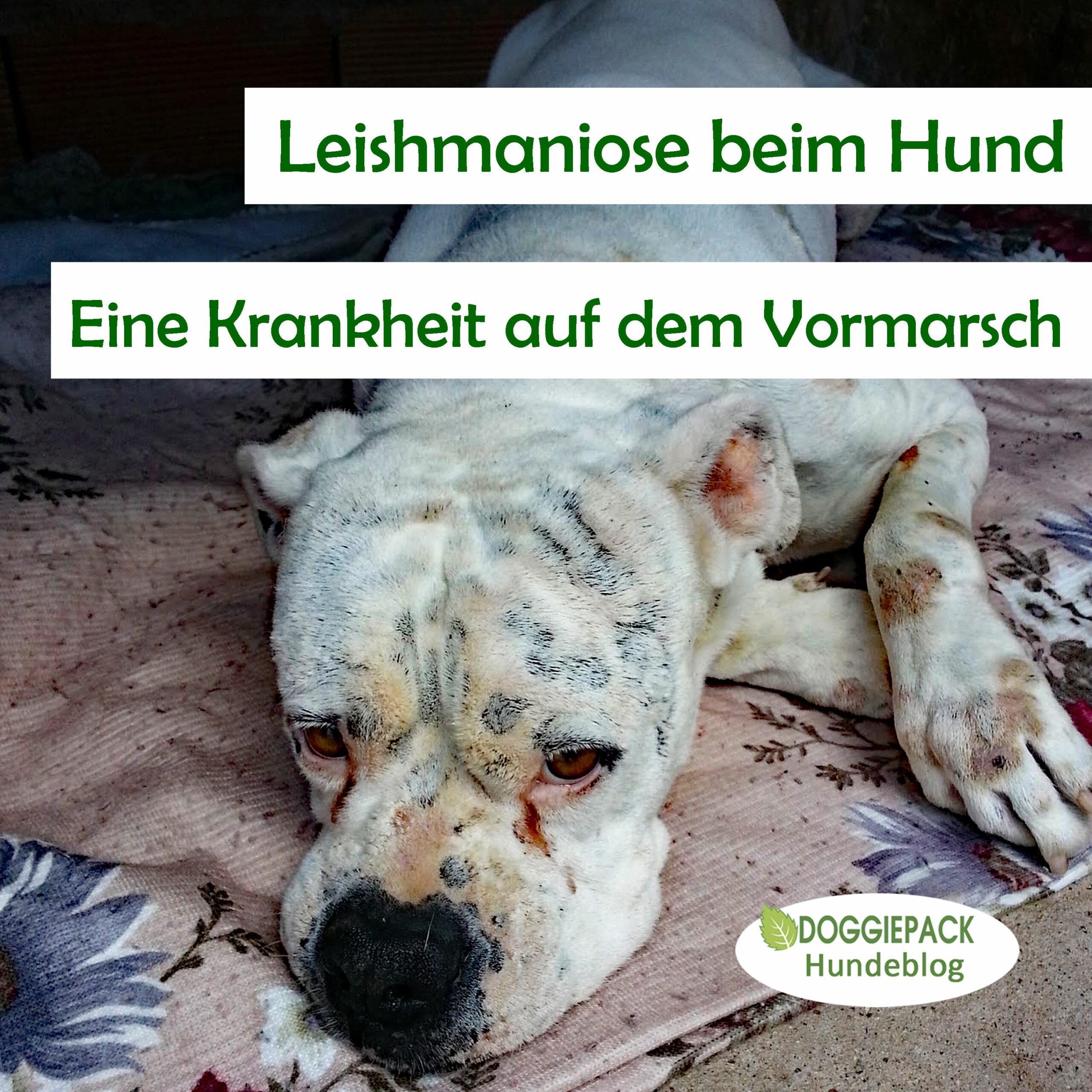 leishmaniose_krankheit_beim_hund_doggiepack_blog