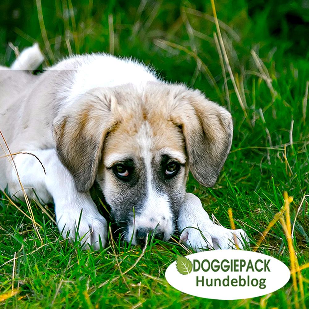 blog_gastritis_beim_hund_was_tun_doggiepack_ernaehrung