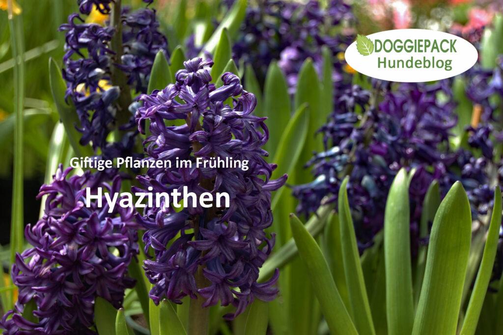 giftig-fuer-hunde-sind-auch-hyazinthen