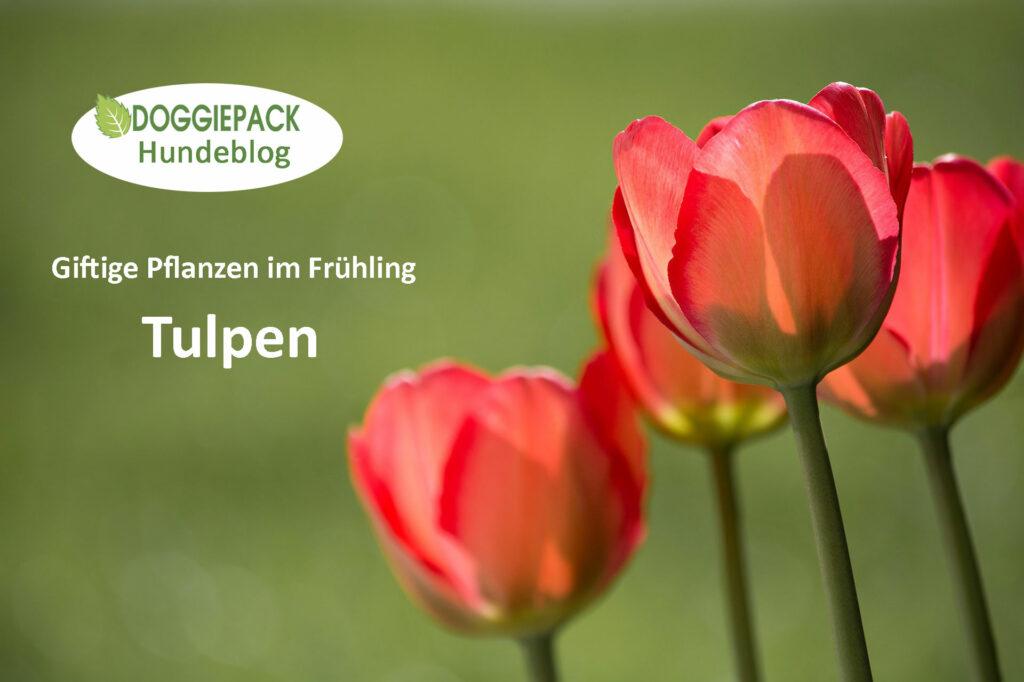 tulpen-giftig-fuer-hunde-doggiepack-hundeblog