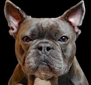 französische-bulldoggen-haben-häufiger-blähungen